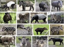 16 Tapirs